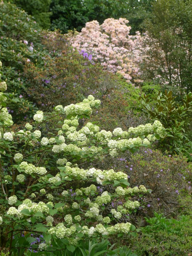 2- Multi-layered color using Snowball bush and rhododendron on a steep slope.JPG