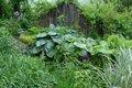 3- Perennial Hosta seiboldiana _Blue Angel_ makes the central layer of a small, shaded layered garden space at Cedaridge Farm.JPG