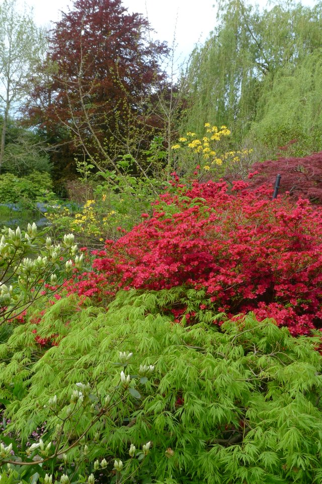 5- A vertical layered look in Monet_s Garden using a bright green Japanese maple, a red deciduous azaleas and dark evergreen spruce towering high into the sky..JPG