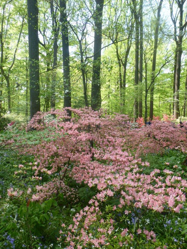 6- Azalea, Peach Bells in combination with the tall trunks of tulip poplars produces a vertical layered look at Winterthur Garden, Delaware..JPG