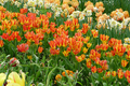 Cluster-flowered tulip.png