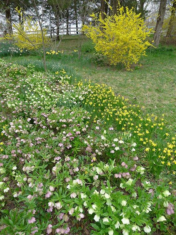 Miniature Tete-a-Tete daffodils.png