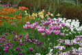 Tulip garden at Cedaridge Farm .png