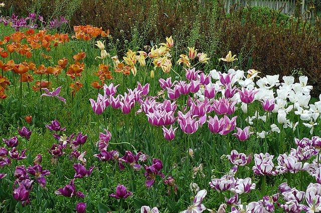 Tulip garden at Cedaridge Farm .png