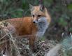 fox 2.png
