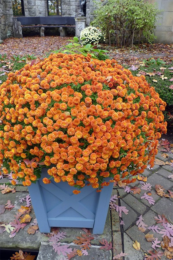 Container with chrysanthemum, 'Bronze Cushion' in a Versailles planter box.jpg
