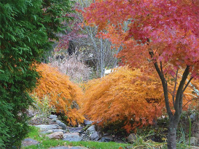 Tree- Japanese maples at Cedaridge Farm.jpg