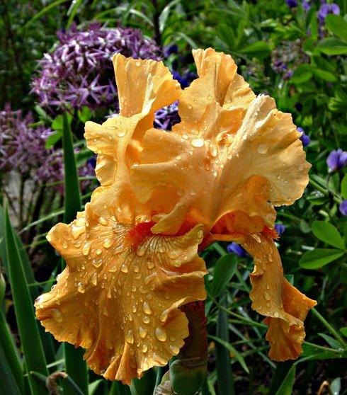 Iris for Blog